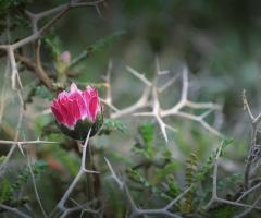 beauty among Thorns ...