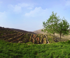 tree on a hill ...