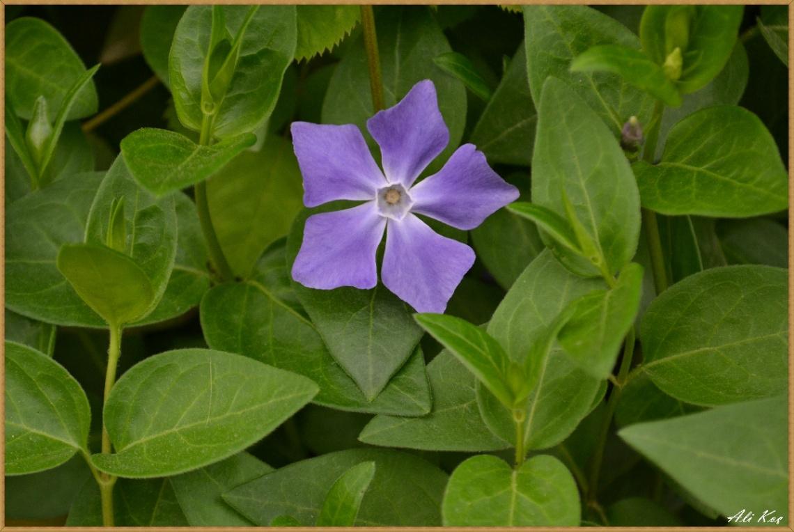Beşgen Pervane Çiçeği