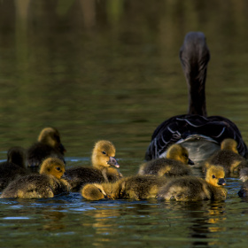 Wild Geese Family