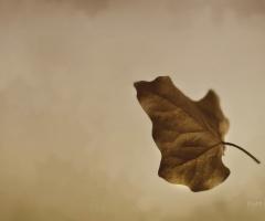 Falling Leaf ...