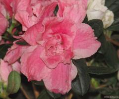 Soft Pink  !