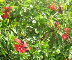Circle Of Hibiscus !