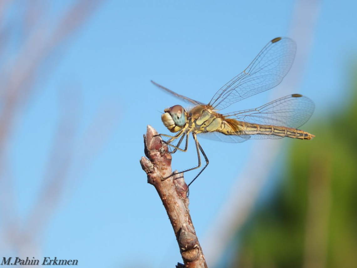 Yusufçuk / Dragonfly