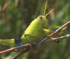 Yeşil Çekirge