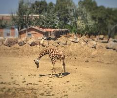 -Zürafa-