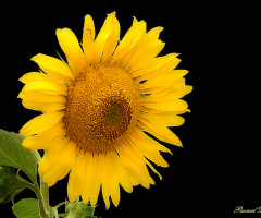Another sunflower