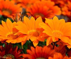 Orange beauty II