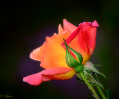 Another rose