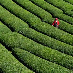 Çay Bahçelerinde/Çayeli