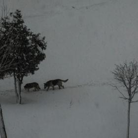 Karda Köpekler