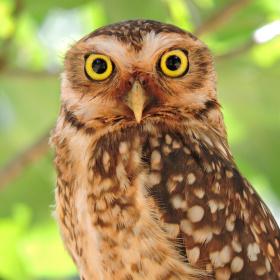 A Curious Owl