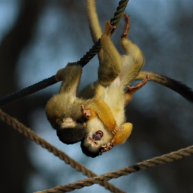 Monkey cub's wild game