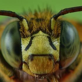 Bee eye