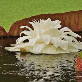 Vitória-régia Flower
