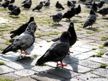 güverçinler