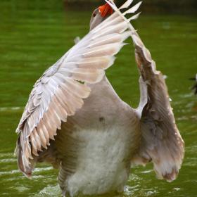 Displaying their wings