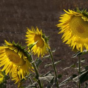 Ay Çiçekleri