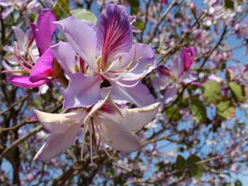 orkide ağacı...