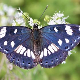Akdeniz Hanımeli Kelebeği / Limenitis reducta