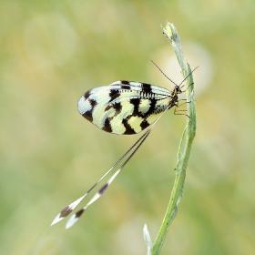 Uçurtma Böceği (Nemoptera Sinuata)