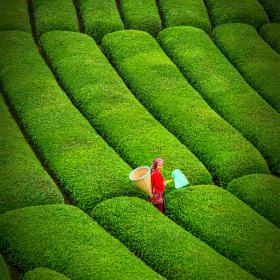 Çay Bahçelerinde