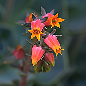 Echeveria Çiçeği