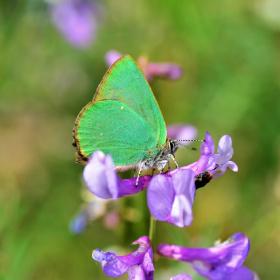 Zümrüt / Callophrys rubi