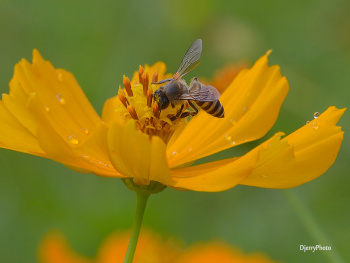 Nectar Bee