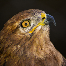 Kızıl şahin - Hawk