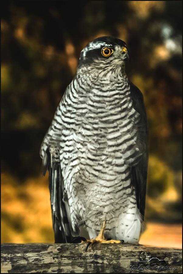 Sparrowhawk - Bayağı atmaca