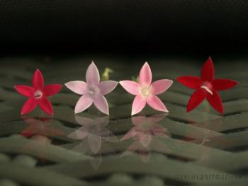 Pentas (Beşiz) Çiçeği