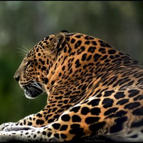 Leopard - Pars