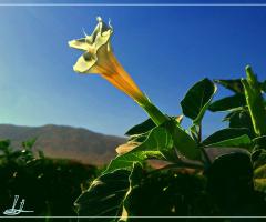 Dhatura Blossom ...