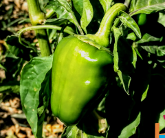 سبز مرچ = Green-bell  pepper