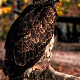 Kızıl Boyunlu Şahin - Red-necked Buzzard