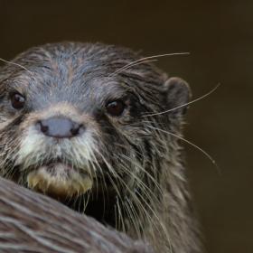 An otter's look