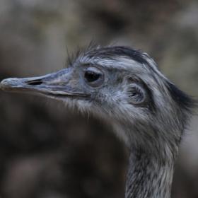 An ostrich close up