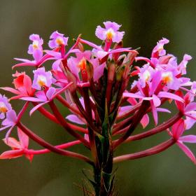 Epidendrum orquídea