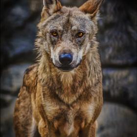 Bozkurt - Gray wolf