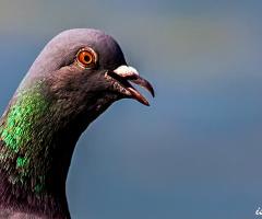 Sardım ben bu aralar Güvercinlere :)