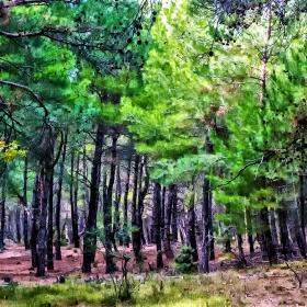 Çam ormanı