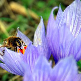 Arı ve safran