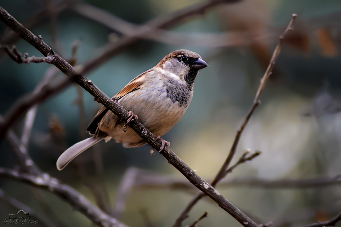 Bayağı serçe - House sparrow