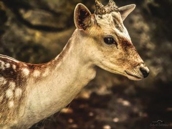 Alageyik - Red Deer