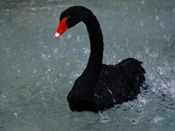 Kara kuğu - Black Swan