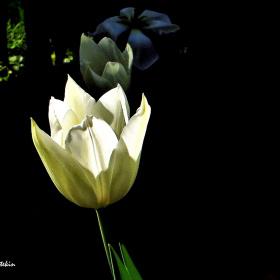Beyaz lale