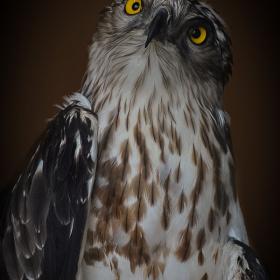Yılan Kartalı - Short toed snake eagle