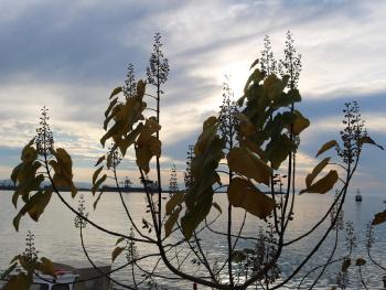 Pavlonya ağacı
