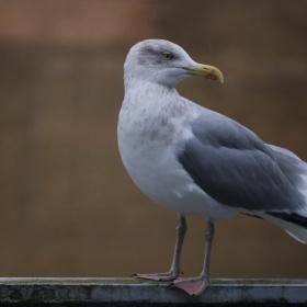 Seagull visit...